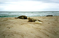 Seals on Sable Island